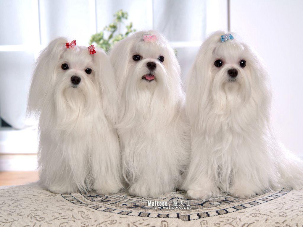 Мальтийская собака фото 2